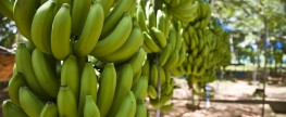 Bananen im Fokus: (Wie) Wirkt Fairer Handel?